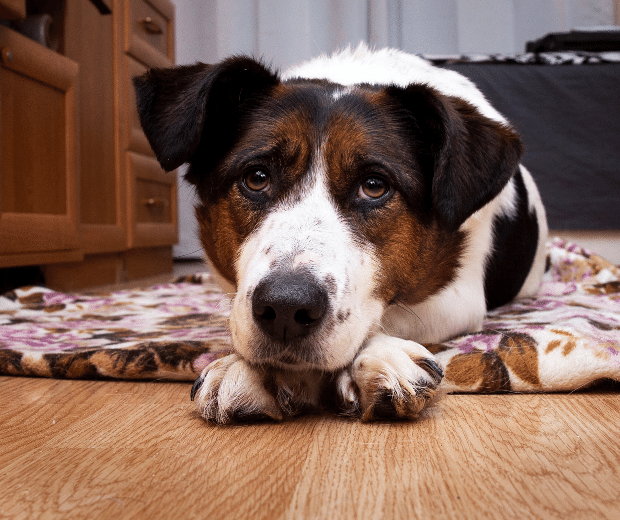 best way to clean dog pee on hardwood floors